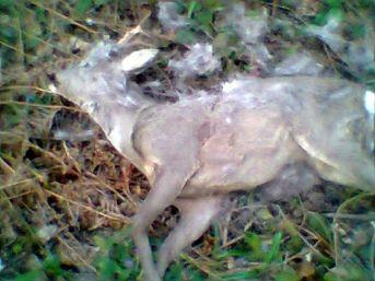 Avcılar Karaca Öldürdü