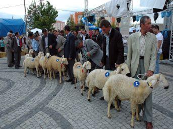 Karaman'da En Güzel Akkaraman Kuzusu Seçildi
