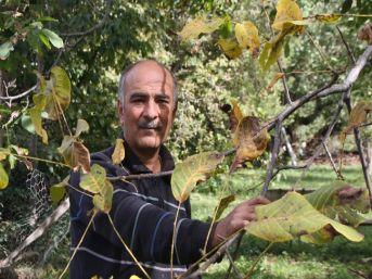 300 Yıllık Ceviz Ağacı İlk Defa Bu Yıl Meyve Vermedi