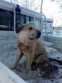 Yaralı Köpek Ameliyat Edildi
