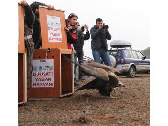 Zehirlenen Akbabalar Doğaya Bırakıldı