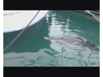 Fethiye Limanında Akdeniz Foku Görüldü