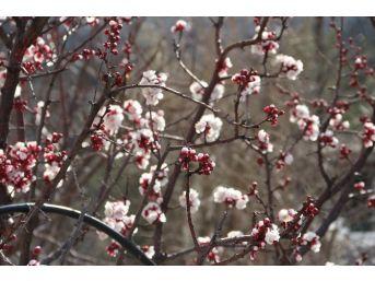 (özel Haber) Kayısı Çiçek Açtı, Üretici Telaşlandı