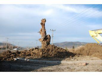 Tarihi Meşe, Kavşakta Anıt Oldu
