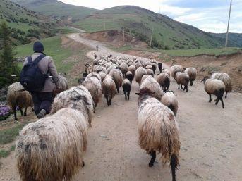 Çoban Değil