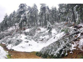 Kar Yağışı, Don Ve Fırtına, Manisa'da 66 Bin Ağaca Zarar Verdi