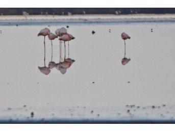 Kuş Cennetine Flamingolar Akını