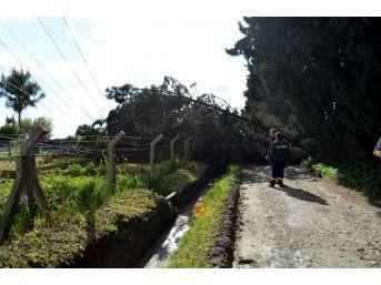 Söke'de Hortum Ağaç Ve Elektrik Direklerini Devirdi