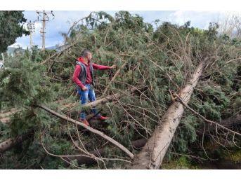 Söke'de Hortum Ağaçları Ve Elektrik Direğini Devirdi