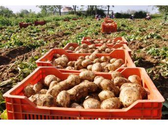 Ödemiş'in Sarıkız Patatesi Çıktı