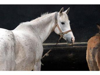 Mahmudiye'deki Ilgı At Tavlası Törenle Açıldı
