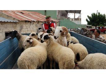 Koyun Hırsızları Tutuklandı