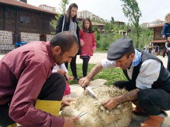 Altınköy'ün Koyunları Kırkıldı