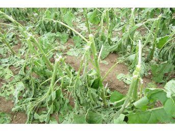 Şiddetli Dolu Tarım Ürünlerini Vurdu