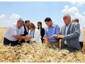 Çiftçiye Dağıtılan Buğday Tohumunda Yüksek Verim Elde Edildi