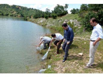 Kastamonu'da 5 Gölete 119 Bin Sazan Bırakıldı