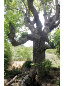 Muğla'daki Anıt Ağaçların Envanteri Çıkarıldı