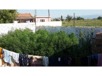 Bahçede Hintkenevirine Çamaşırlı Kamufle
