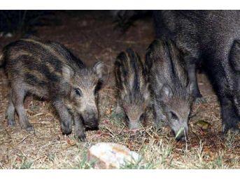 Aç Kalan Yabani Domuzlara Vatandaşlar Yiyecek Verdi