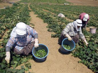 Tarım İşçileri Sıcağa Meydan Okuyor