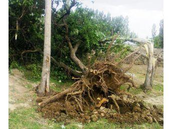 Erciş'te Şiddetli Fırtına Meyve Ağaçlarını Kökünden Söktü