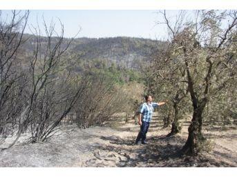 Orman Yangını Meyve Bahçelerini De Vurdu