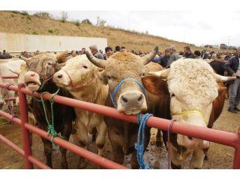 Kastamonu'da İthal Hayvan Krizi Yaşanıyor