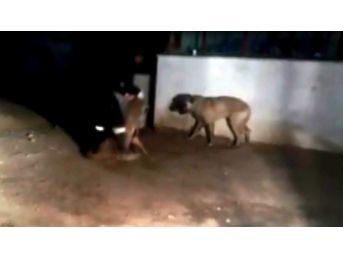 Kangal Köpeklerini Önce Korkuttu, Sonra Saldırttı