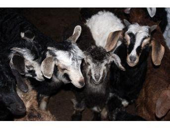 Hırsızlar Keçileri Çaldı, Yavrularını Bıraktı