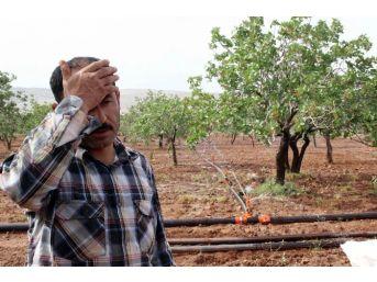 (özel Haber) Rekoltesi İle Üreticinin Yüzünü Güldüren Fıstık Ağacında Yok Olma Tehlikesi