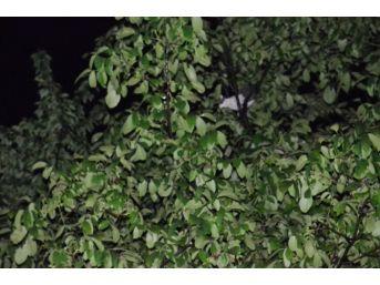 Ağaçta Mahsur Kalan Kediler İtfaiyeyi Alarma Geçirdi