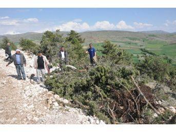 Sandıklı Ballık Köyünde Ağaç Katliamı İddiası