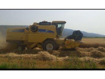 Aydın'da Buğday Hasadı Başladı, Üretici Verimden Memnun