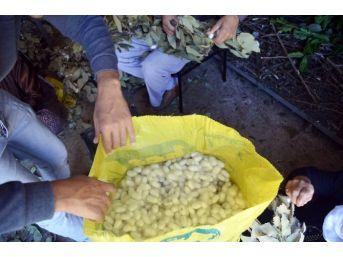 Sason'da İpek Böceği Yetiştiriciliği Yaygınlaşıyor
