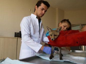 Yaralı Tilki Tedavi Edilerek Doğaya Bırakıldı
