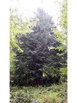 Dünyaya Direnen En Yaşlı Porsuk Ağacı Zonguldak'ta
