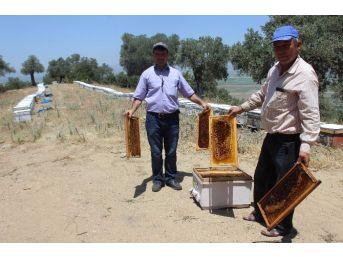 Aşırı Sıcaklar Nedeniyle Aydın'daki Arılar Felç Oldu
