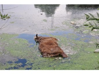 Ceyhan Nehri'ne Büyükbaş Hayvan Leşi Attılar