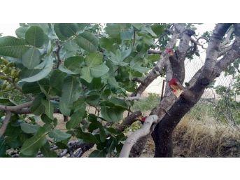 Siirt'te Fıstık Bahçelerinde Ağaçları Kestiler