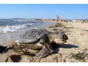 Kuşadasında İki Deniz Kaplumbağası Sahile Vurdu