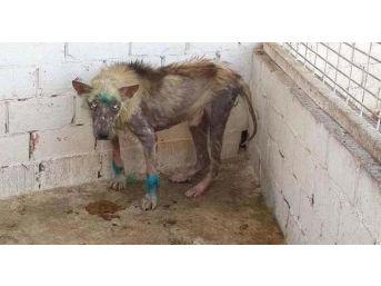 Ölmek Üzere Olan Köpek Hayvan Barınağında Sağlığına Kavuştu