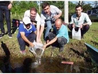 Samsun'da Göletlere 85 Bin Pullu Sazan Yavrusu Bırakıldı