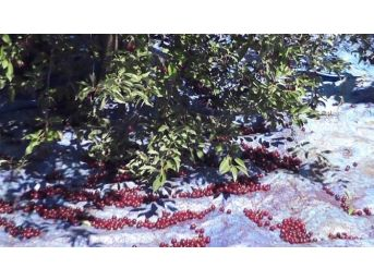 Afyonkarahisar'da Görülmemiş Vişne Toplama Tekniği