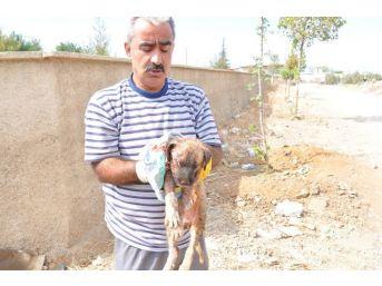Köpeklerin Saldırdığı Yavru Köpek, Ambulansla Hayvan Hastanesine Kaldırıldı