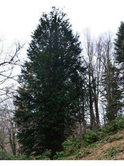 En Yaşlı Porsuk Ağacının Bulunduğu Alan Tabiat Anıtı İlan Edildi