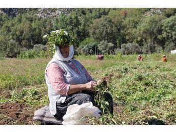 Türkiye'nin En Lezzetli Doğal Fıstığı Marmaris'te Yetişiyor