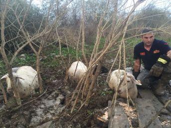 Bataklığa Saplanan Koyun Sürüsünü İtfaiye Kurtardı