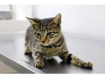 Tecavüze Ve İşkenceye Uğrayan Kedi, Yaşam Savaşı Veriyor