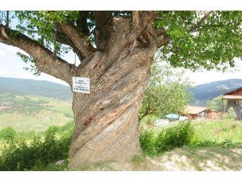 200 Yıllık Burgulu Armut Ağacı Görenleri Şaşırtıyor