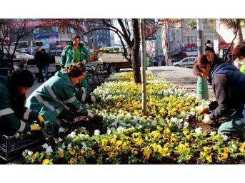 Çankaya Parklarını Kışlık Çiçekler Süslüyor